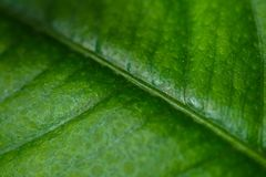 Green leaf background, macro Stock Photography