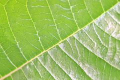 Green Leaf Background - Natural Patterns and Color Stock Photography
