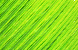 Green leaf background. From the palm tree Royalty Free Stock Image