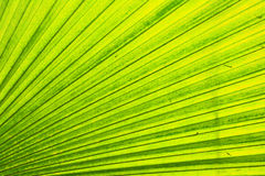 Green leaf background. From the palm tree Stock Image