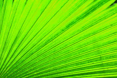Green leaf background. From the palm tree Stock Photos
