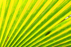 Green leaf background. From the palm tree Royalty Free Stock Photography