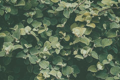 Green leaf background. Royalty Free Stock Photography
