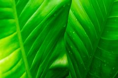 Green leaf background with rain drops. Green leaf background and rain drops royalty free stock photos