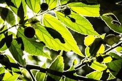 Green leaf. Leaf background on rim light white Royalty Free Stock Images