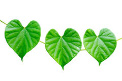 Green leaf. Background shooting in thailand Stock Photos
