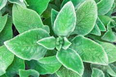Green leaf background. Soft, fluffy Stahis leaves. royalty free stock photos
