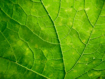 Green leaf background texture Royalty Free Stock Photography
