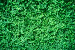 Green leaves background. Green leaf for background texture Stock Photo