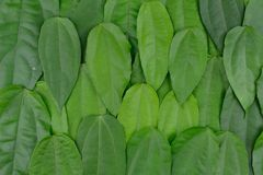 Green leaf. Background and textured Royalty Free Stock Photography