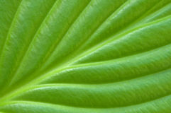 Green leaf background. Textured green leaf closeup as a background Stock Photo