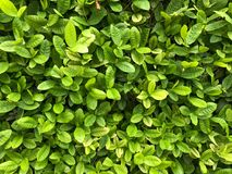 Green leaf background. From top view Royalty Free Stock Image