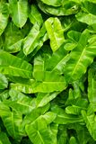Green leaf background vignette or the green nature wall texture Royalty Free Stock Photo