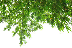 Green leaf background. Vivid green bamboo leaves on white background Stock Photos