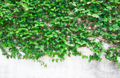 Green leaf backgrounds. Green leaf on white wall Royalty Free Stock Photo