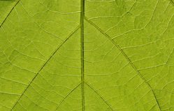 Green leaf in backlight Stock Photos