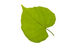 Green leaf with backlight on white background Stock Images