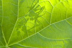 Green leaf backlit by the sun macro Stock Photos