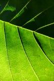 Green leaf. Backlit sunlight Stock Images