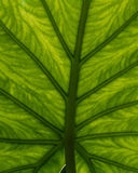 Green leaf backlit to show vein detail Stock Photo