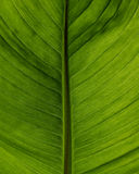 Green leaf backlit to show vein detail Royalty Free Stock Photo