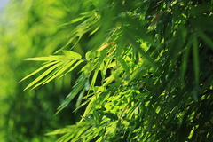 Green leaf. Green bamboo leaf in forest Stock Photo