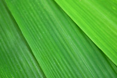 Green leaf bamboo is nature abstract background royalty free stock image