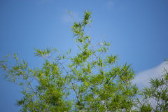 Green leaf bamboo tree with blue sky background. Clouse up of Green leaf bamboo tree with blue sky background Stock Photos