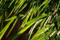 Green leaf of bamboo tree. Close up green leaf of bamboo tree Royalty Free Stock Photo