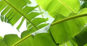 Green leaf banana fruit on tree. Rainy day scene stock video