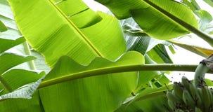 Green leaf banana, rainy day scene. Green leaf banana fruit on tree, rainy day scene stock video footage