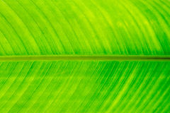Green leaf. Of a banana tree Royalty Free Stock Photos