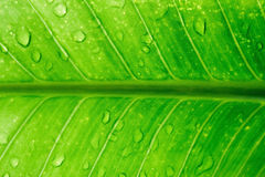 Dew on green leaves. Green leaf of a banana tree Royalty Free Stock Photography
