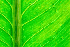 Dew on green leaves. Green leaf of a banana tree Royalty Free Stock Image