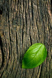 Green leaf of basil on grungy wooden background Stock Images