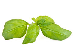 Green leaf of basil Stock Images