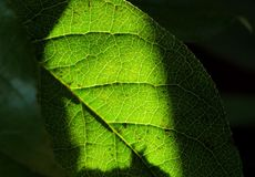 Green leaf. And a beam of light Stock Photography