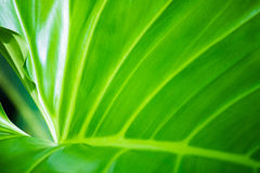 Green leaf. Beautiful green background of leaves Stock Photography