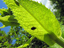 Green leaf and beetle in back lit Royalty Free Stock Photo