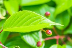 Green leaf and berries in spring Royalty Free Stock Image