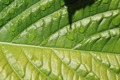 Green leaf. A big green leaf with raindrops Royalty Free Stock Images