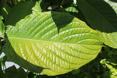 Green leaf. A big green leaf with shadows Stock Photography