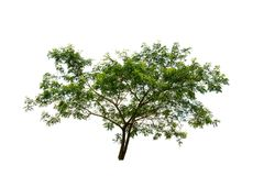 Green leaf big tree isolated on white background with clipping path. Royalty Free Stock Photography