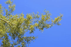 Tree green leaves and blue sky Royalty Free Stock Photography