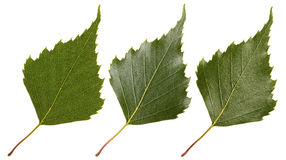 Green leaf of birch Stock Photography