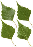 Green leaf of birch Stock Image