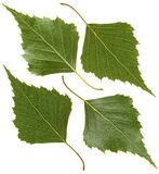 Green leaf of birch Stock Photos