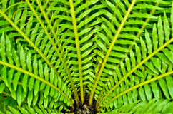 Green leaf bird nest fern Stock Photo