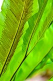 Green Leaf of Bird's Nest Fern Royalty Free Stock Photo