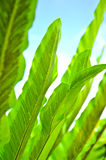 Green Leaf of Bird's Nest Fern Stock Images